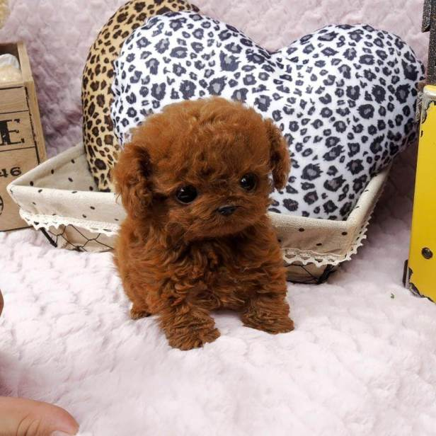 Rudy-Red-Micro-Teacup-Poodle